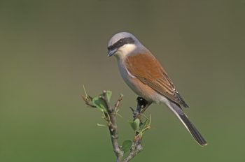 Red-backed shrike, Lanius collurio, single bird on branch, Bulgaria