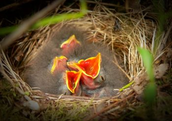 Hungry nestlings.
