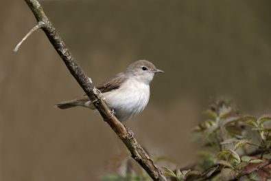 Garden warbler, Sylvia borin, single bird on branch, Warwickshire, May 2012